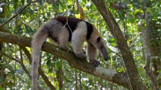 Tamandua du Costa Rica
