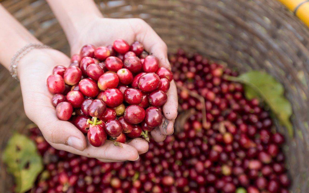 Café du Costa Rica, agriculture