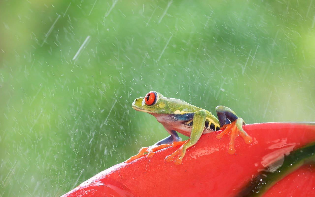Grenouille sous la pluie du Costa Rica