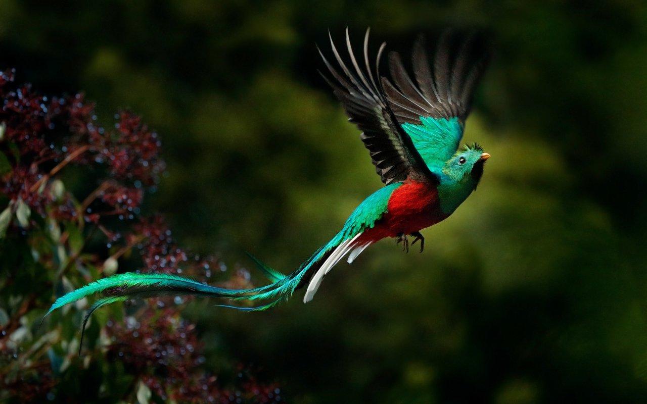 Quetzal, oiseau typique du Costa Rica