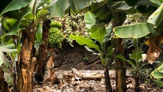 Bananes du Costa Rica