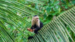 Singe capucin de Cahuita au Costa Rica