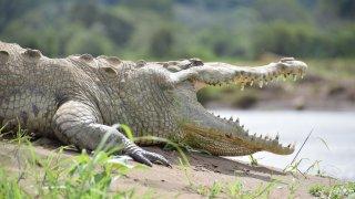 Crocodile du Costa Rica