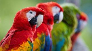 Aras du Costa Rica