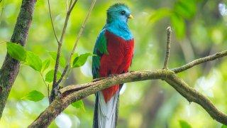 Quetzal,oiseau typique du Costa Rica