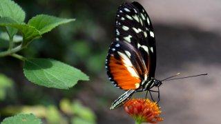 Papillon du Costa Rica