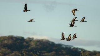 Oiseaux de Palo verde au Costa RIca