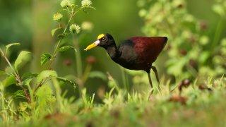 Oiseau de la reserve de Cano Negro au Costa Rica
