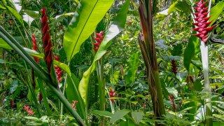 Heliconias du Costa Rica