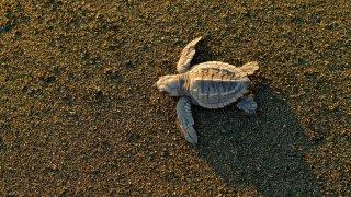 Tortue de mer du Costa Rica