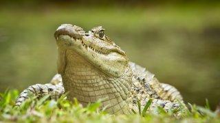Crocodile a Cano Negro au Costa Rica