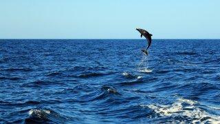 Dauphin du Costa Rica
