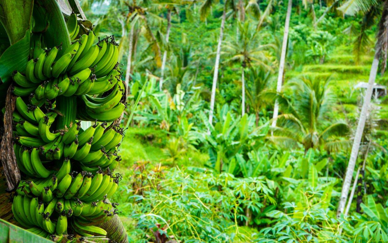 banane tropicale